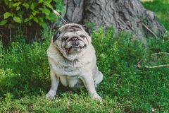 A cute pug dog sitting on the green grass