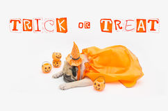 Cute Pug Dog sleep rest and tongue sticking out with Happy Halloween day and pumpkin. Concept Stock Image