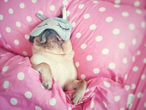 Free Cute Pug Dog Sleep Rest With Funny Mask In The Bed, Wrap With Blanket And Tongue Sticking Out In The Lazy Time Royalty Free Stock Photos - 156846648