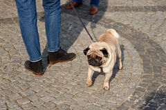 Cute pug dog at the street Stock Photo