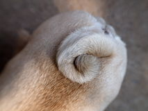 Cute pug dog tail Stock Image