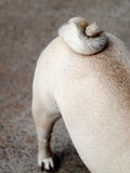 Cute pug dog tail Stock Photography
