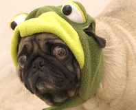 Cute Pug Dressed as a Frog Stock Photography