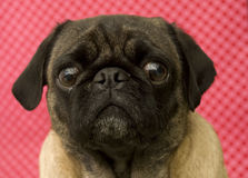 Cute Pug Face Stock Image