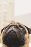 Cute pug face close up Royalty Free Stock Photos