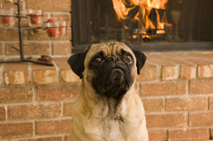 Cute Pug in Front of Fire Royalty Free Stock Image