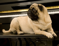 Cute Pug in Front of Piano Royalty Free Stock Images