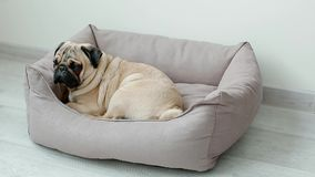 Cute pug going to his pillow stock video