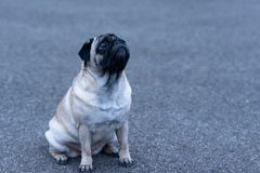 Cute pug looking up and sitting on ground Stock Photo