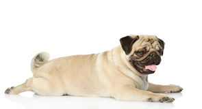 Cute pug lying. looking away. Royalty Free Stock Image
