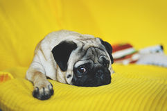 Cute pug lying on yellow Stock Photo