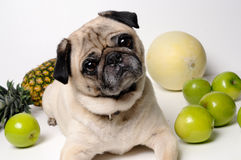 Cute pug playing with fruits Royalty Free Stock Image