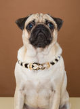 Cute pug posing in a studio Royalty Free Stock Photography
