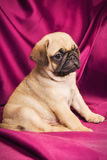Cute pug puppy Stock Photos