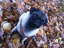 Cute pug puppy on an autumn day Stock Images