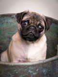 Cute Pug Puppy in Bucket royalty free stock photography