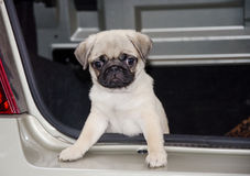 Cute pug puppy Royalty Free Stock Photo