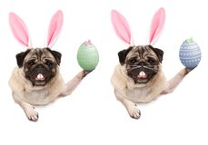 Cute pug puppy dog with bunny ears diadem, holding up easter egg hanging with paws on blank banner royalty free stock photography