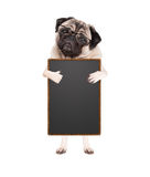 Cute pug puppy dog with glasses, standing up holding blank blackboard sign and giving a like with thumb, isolated on white backgro Royalty Free Stock Image