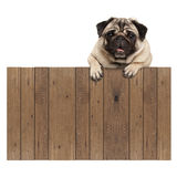 Cute pug puppy dog hanging with paws on blank wooden fence promotional sign. Isolated on white background royalty free stock photo
