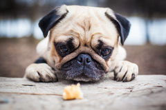 Cute pug puppy dog look for food Royalty Free Stock Photo