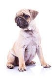 Cute pug puppy dog looking to a side Royalty Free Stock Image