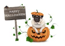 Cute pug puppy dog sitting in carved pumpkin with scary face, wearing lid as hat, with wooden sign saying happy halloween royalty free stock photos