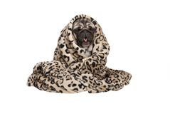 Cute pug puppy dog sitting down, rolled up in fuzzy blanket, coughing, having a cold. Isolated on white background Royalty Free Stock Photo