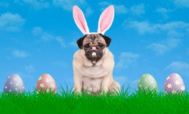 Cute pug puppy dog sitting in grass wearing bunny ears diadem, next to colorful pastel easter eggs, blue sky background. Lovely pug puppy dog sitting in grass Royalty Free Stock Photography