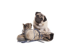 Cute pug puppy dog sitting next to pair of old work boots, isolated on white background Royalty Free Stock Photography