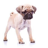Cute pug puppy dog standing Royalty Free Stock Image