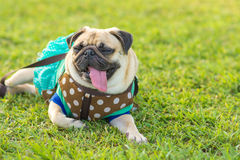 Cute pug puppy dog tired sleeping rest  on field Royalty Free Stock Photos