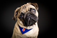 Cute pug puppy Stock Photo