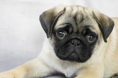 pretty pug puppy portrait stock photo