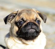 Cute pug puppy portrait royalty free stock photos