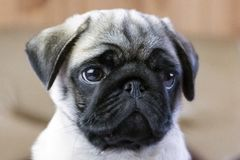 Mug of a pug puppy royalty free stock photos