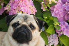 Cute Pug Puppy Tilting Head with Pink Hydrangeas in Background. Head and shoulders portrait of Cute Pug Puppy Tilting Head and looking at viewer with Pink Royalty Free Stock Photos