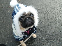 Cute pug puppy in winter outfit Royalty Free Stock Photos