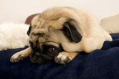 Cute Pug Resting Stock Images