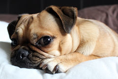 Pug looking cute. Pug cross dog resting on a pillow Stock Images