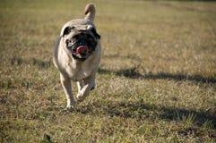 Cute Pug Running Royalty Free Stock Image