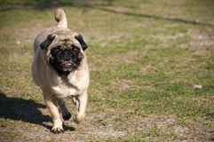 Cute Pug Running at Dog Park Royalty Free Stock Photography