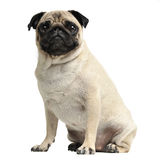 Cute pug sitting in a white photo studio Royalty Free Stock Photo