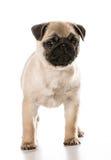 Cute pug Royalty Free Stock Photos