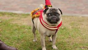 Cute pug wearing funny Christmas accessories enjoying walk on leash in park