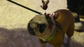 Cute pug wearing sparkling Christmas accessories staying at party with owner