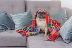 Cute pug wrapped in a warm blanket. Frozen, home concept Stock Photography