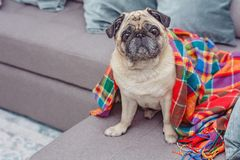 Cute pug wrapped in a warm blanket. Frozen, home concept Stock Images