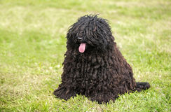 Cute puli dog in the park Stock Image