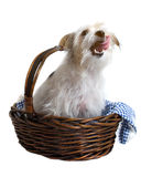 Cute Pup in Basket. Cute dog with tongue out, in basket over white background Stock Images